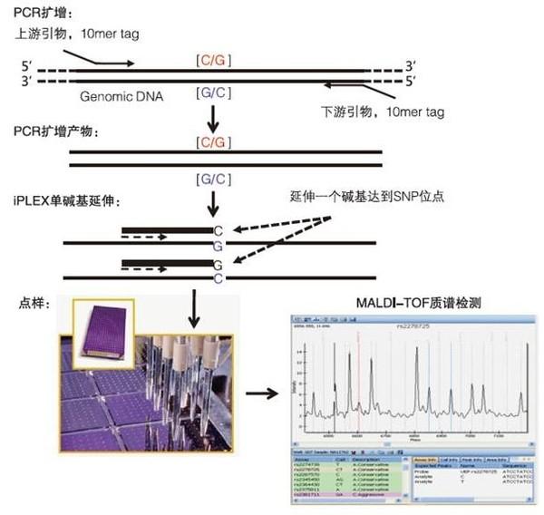 Sequenom MassARRAY技术 SNP 分型原理