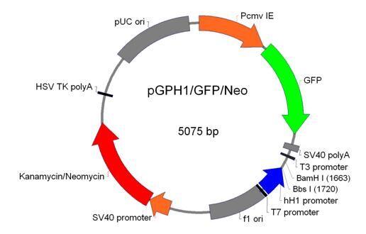 shRNA表达载体