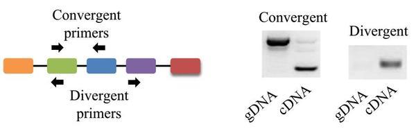 环状RNA的定量PCR检测