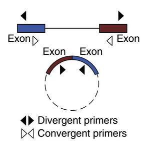环状RNA定量PCR引物设计