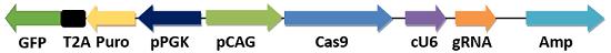 鸟类(家禽)/细胞CRISPR/Cas9表达载体