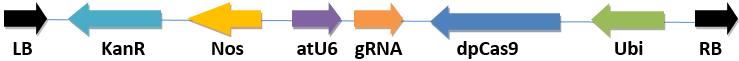双子叶植物CRISPR/Cas9表达载体