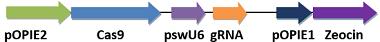 昆虫CRISPR/Cas9表达载体