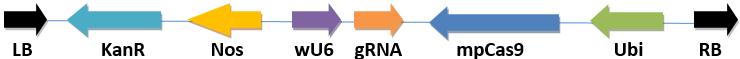 单子叶植物CRISPR/Cas9表达载体