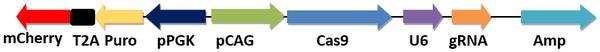 哺乳动物/细胞CRISPR/Cas9表达载体