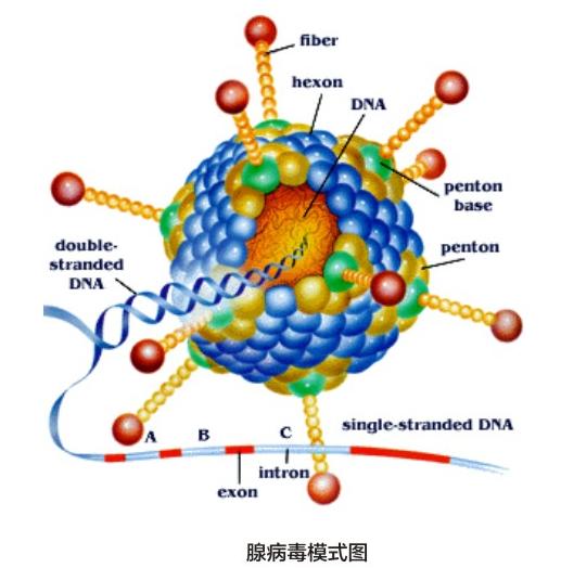 腺病毒包装模式图