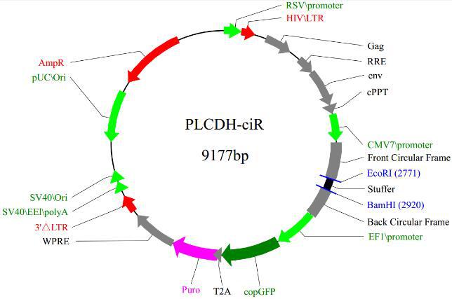 环状RNA(circRNA)过表达载体