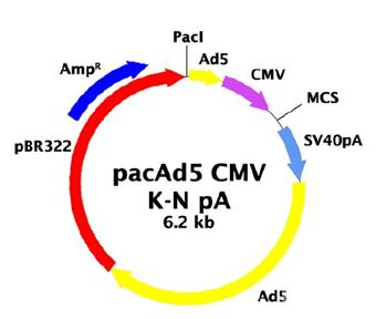 lncRNA 过表达腺病毒载体